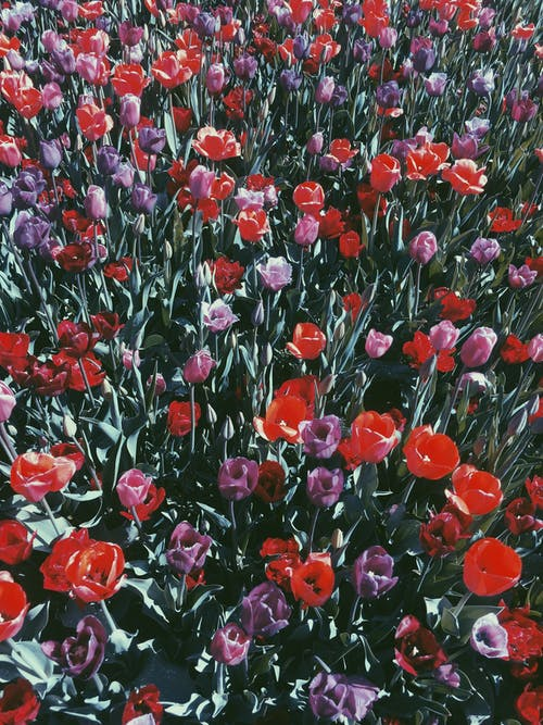 Free stock photo of field of flowers, flowers, red flowers, tulips