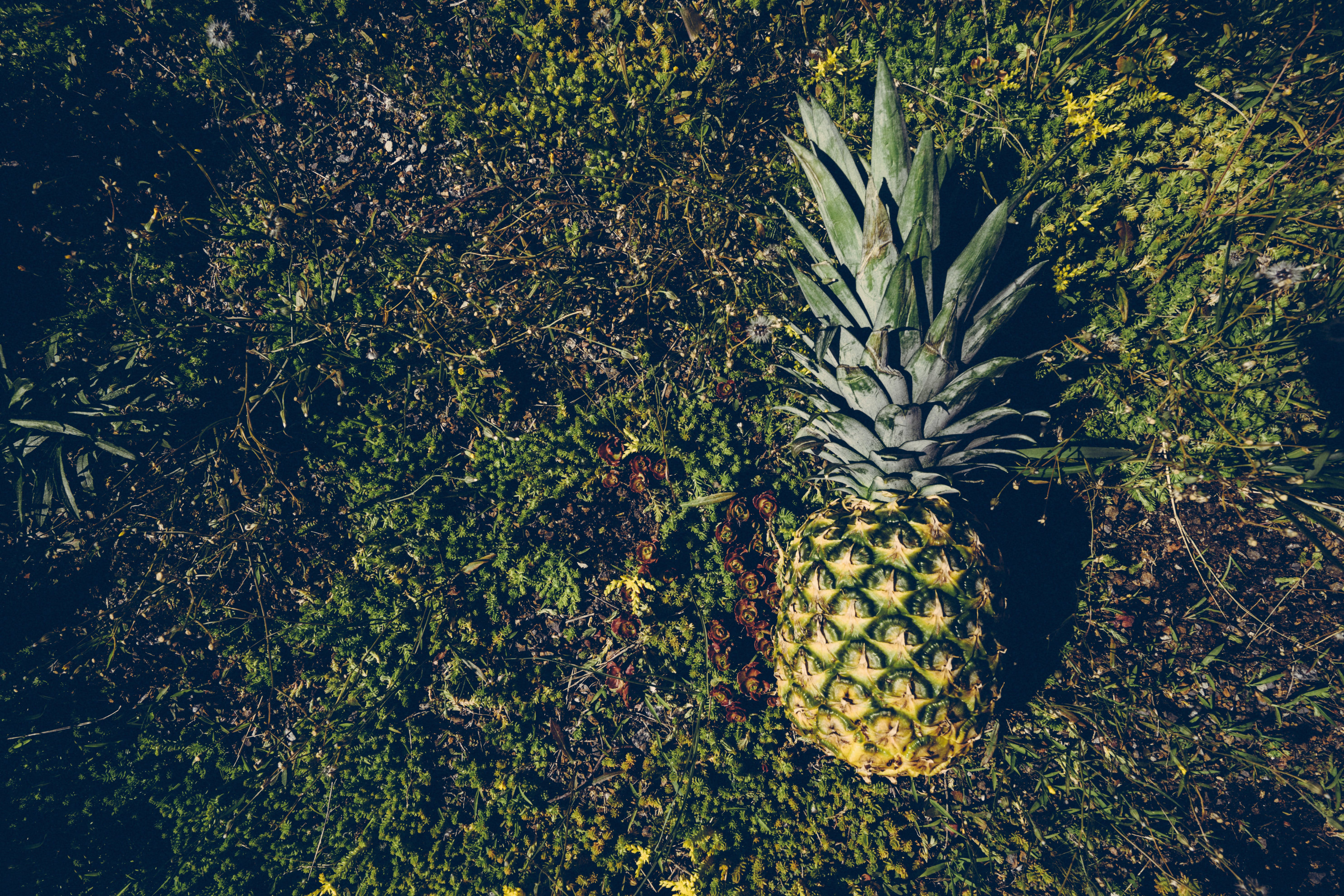Pineapple Fruit on the Ground