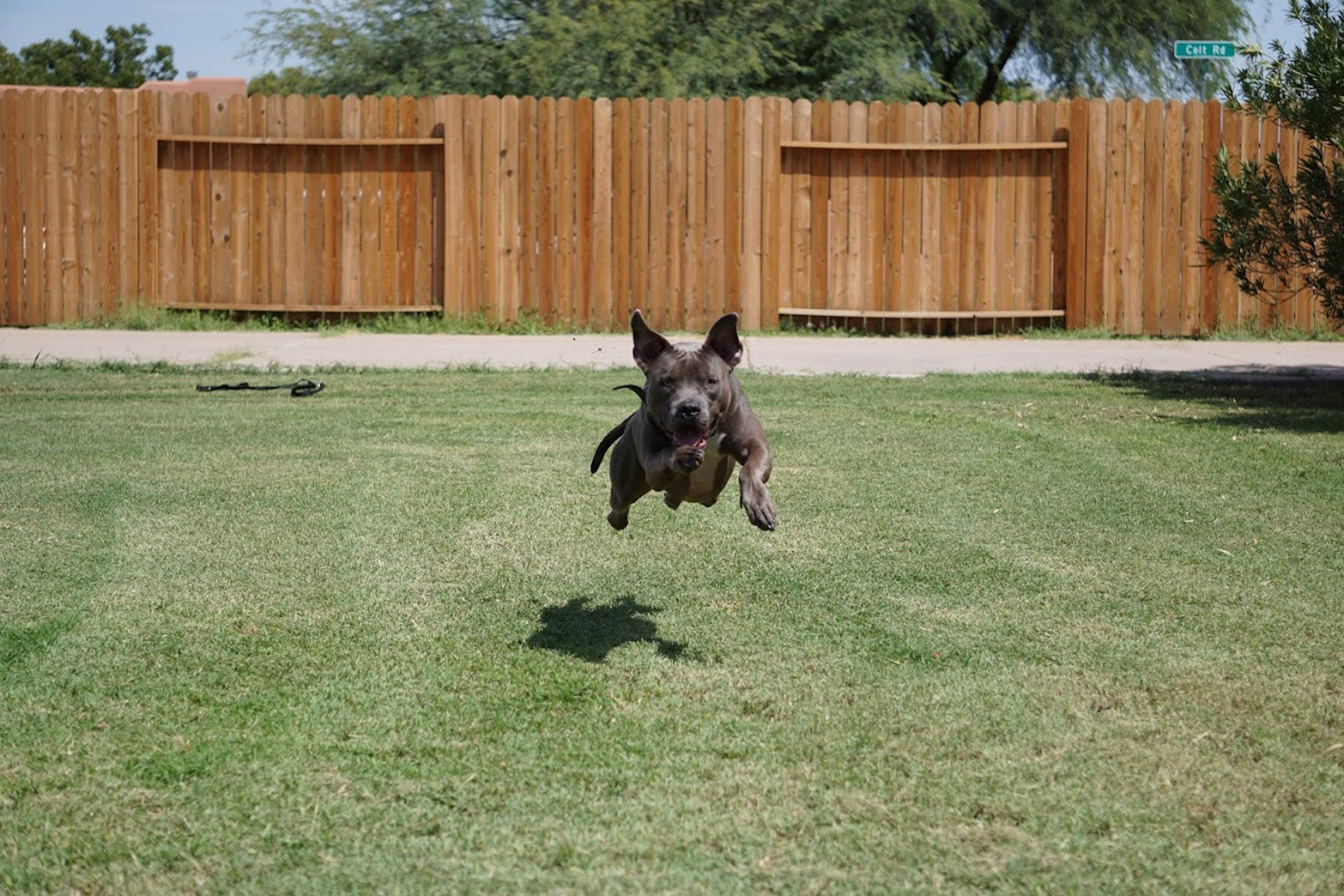 Free stock photo of blue nose pit bull dog, dog leaping, dog playing, pit bull dog