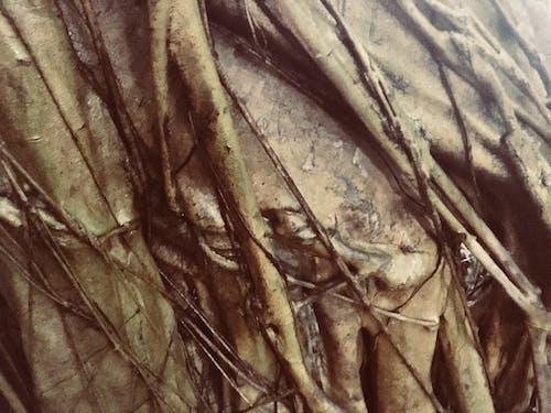 Foto d'estoc gratuïta de arbre, bodhi, escorça, textura