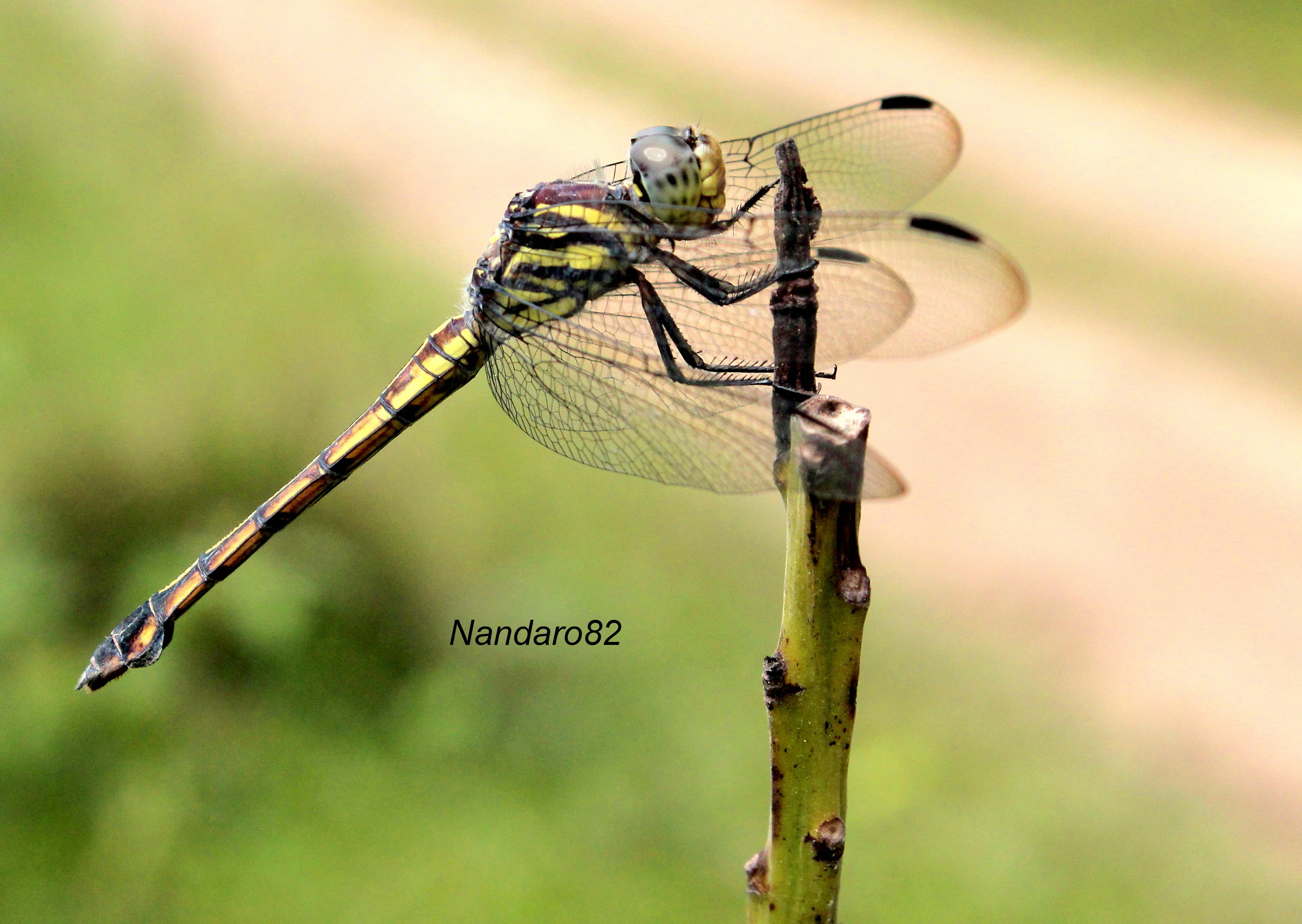 Free stock photo of #animal, #buffalo, close-up dragonfly insect little macro wings