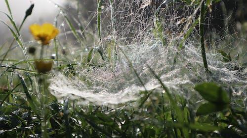 Free stock photo of cobweb, early morning, flower, green