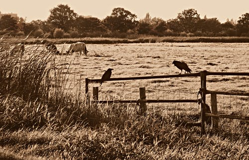 Free stock photo of crow, fence, landscape, nature