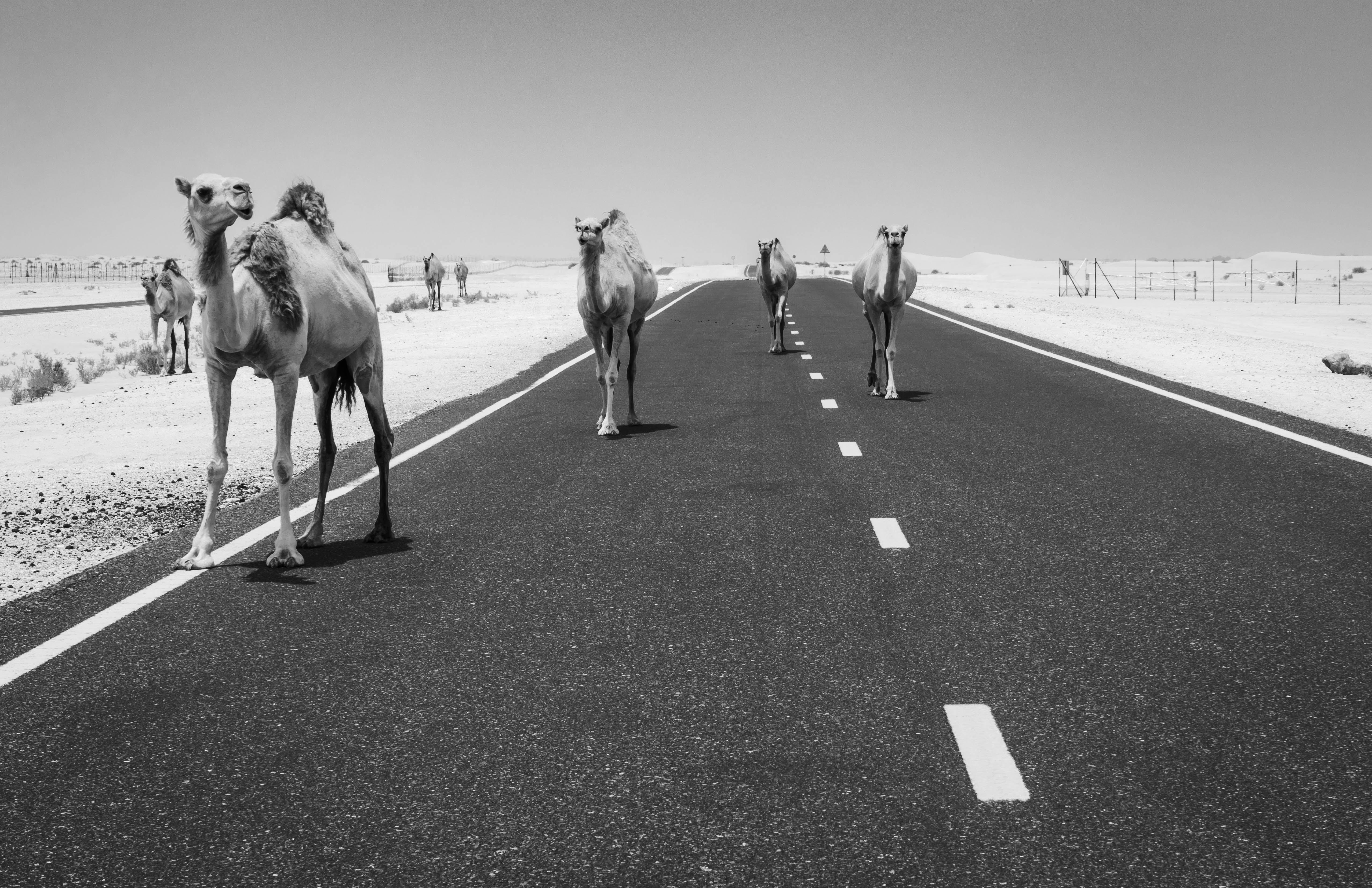 Безкоштовне стокове фото на тему «відтінки сірого, верблюди, дорога, пустеля»