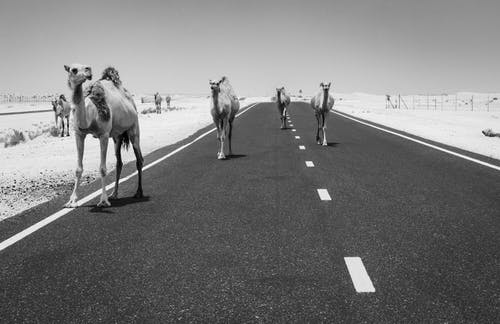 Grayscale Photo Of Camels On The Road