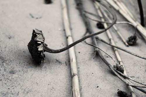 Základová fotografie zdarma na téma černobílá, kytka, mrtvá květina, rozpad