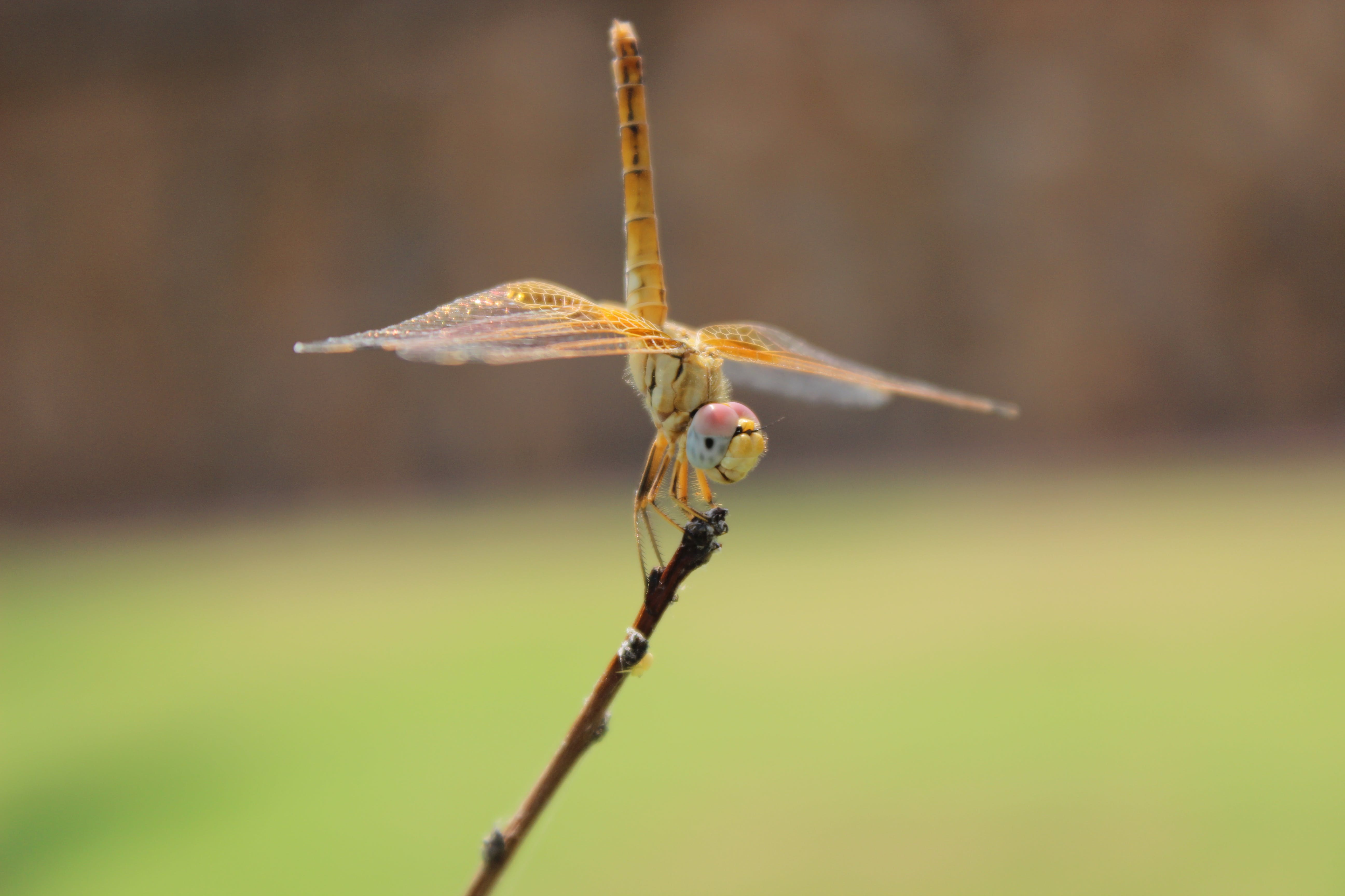 Close-up Photography of Yellow Dragonfly Perching on Brown Twig