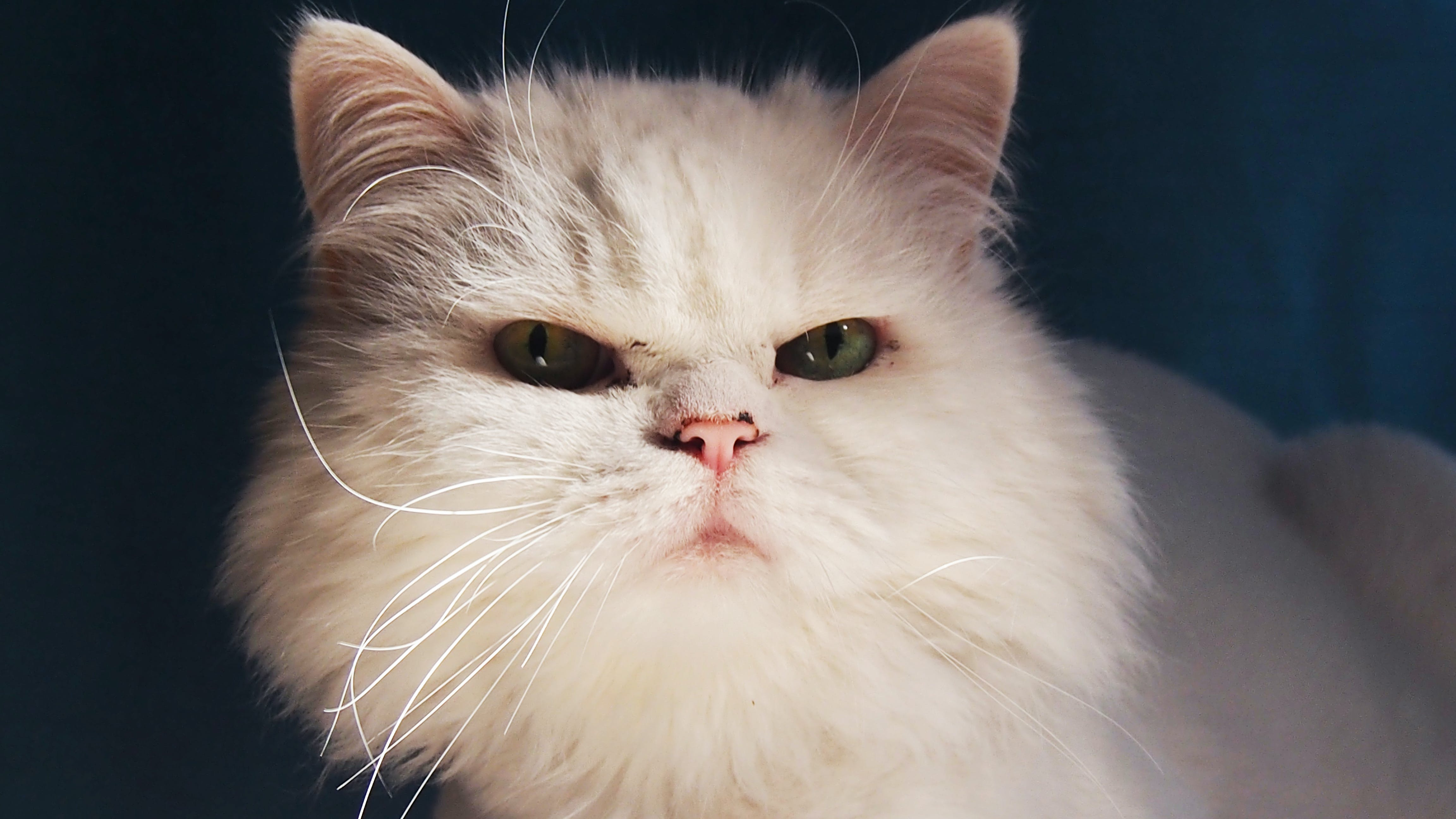 Free stock photo of cat, white cat