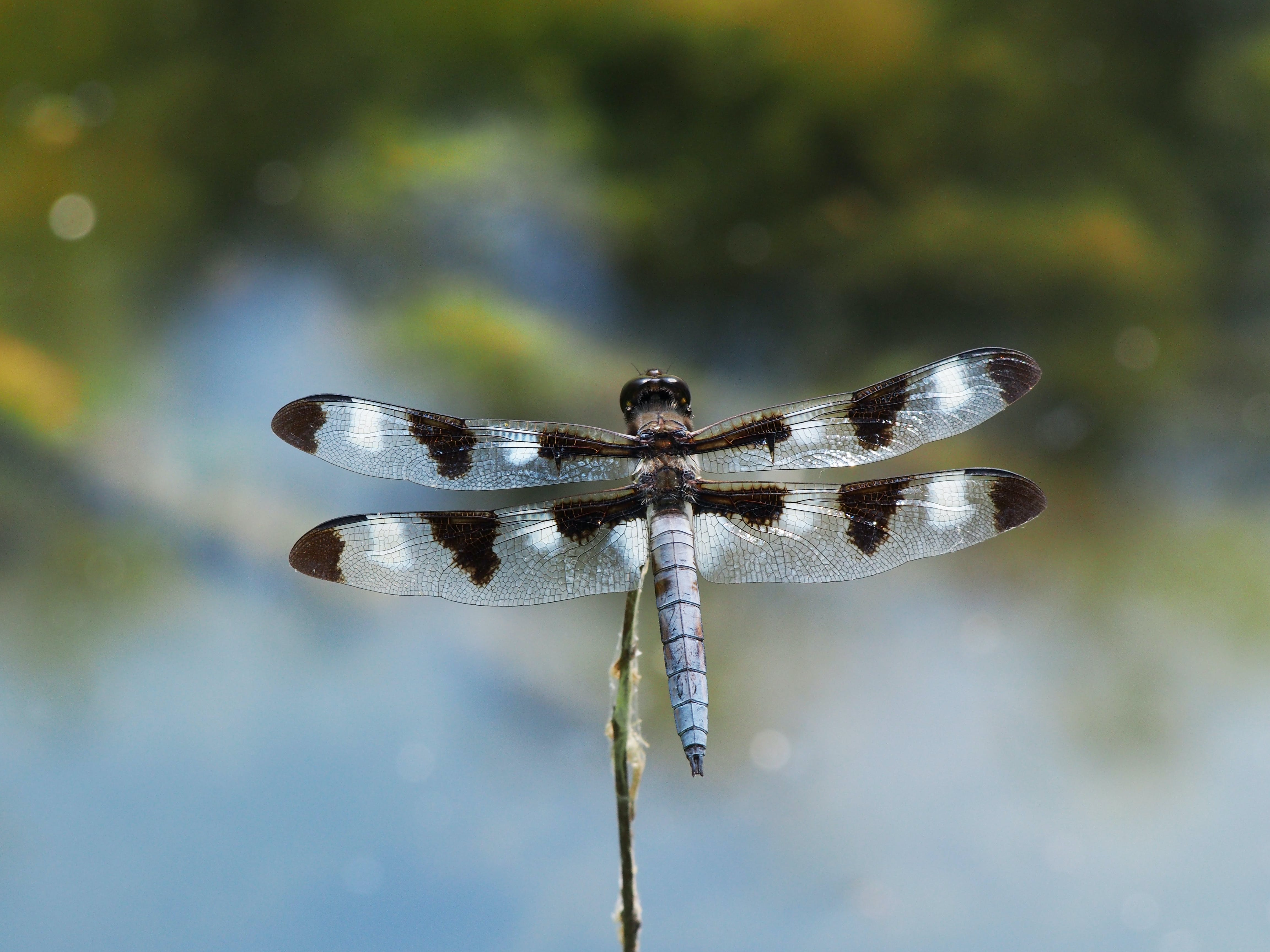 Free stock photo of dragonfly, dragonfly wing