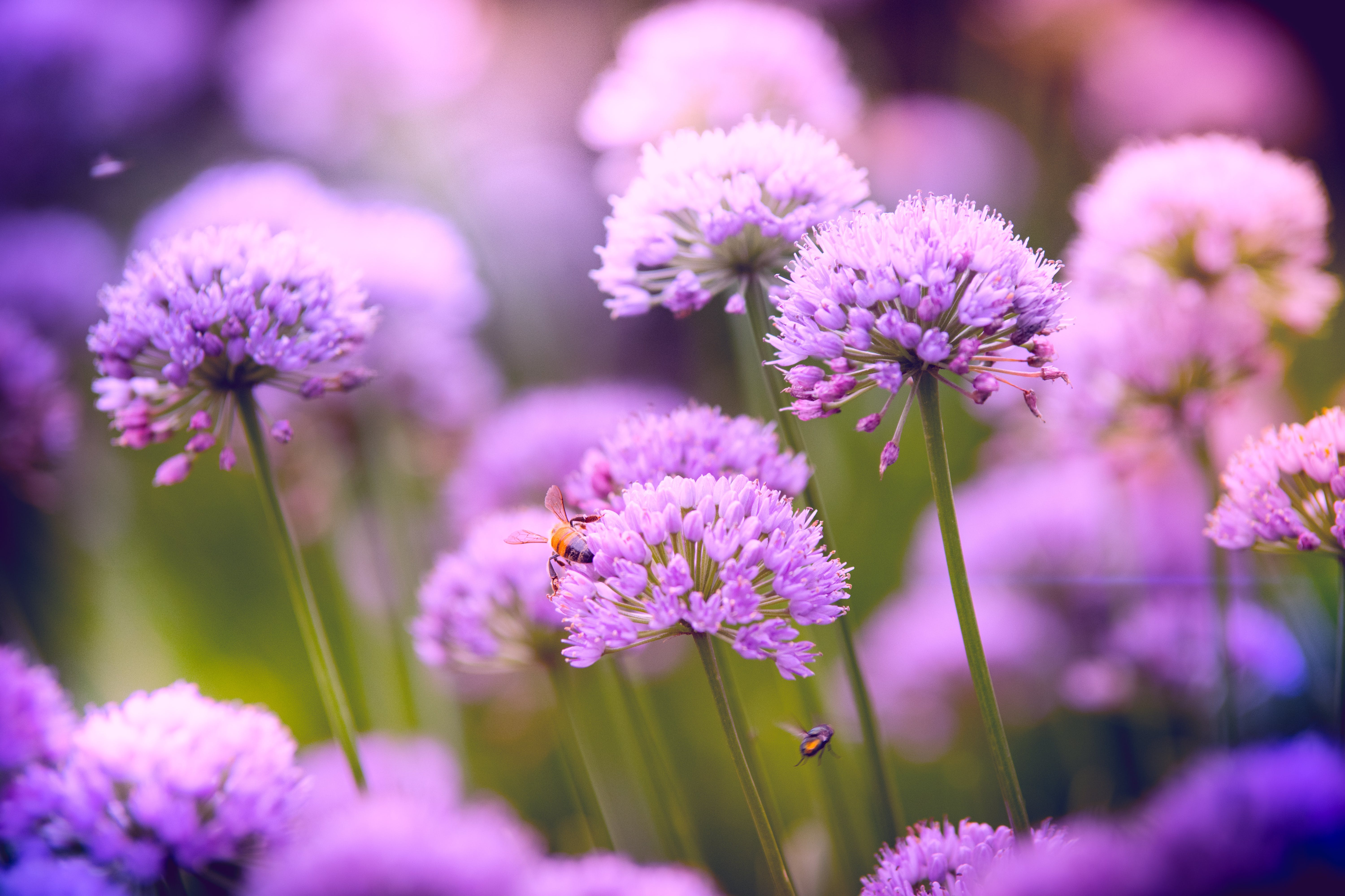 Selective Focus Photography of Purple Allium Flowers