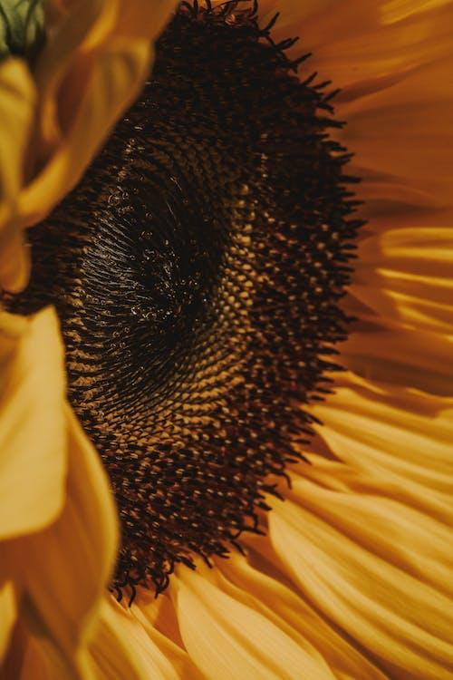 Бесплатное стоковое фото с детали, желтый, лепестки, подсолнечник