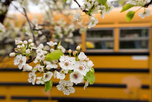 Free stock photo of back to school, cherry blossom, flowers