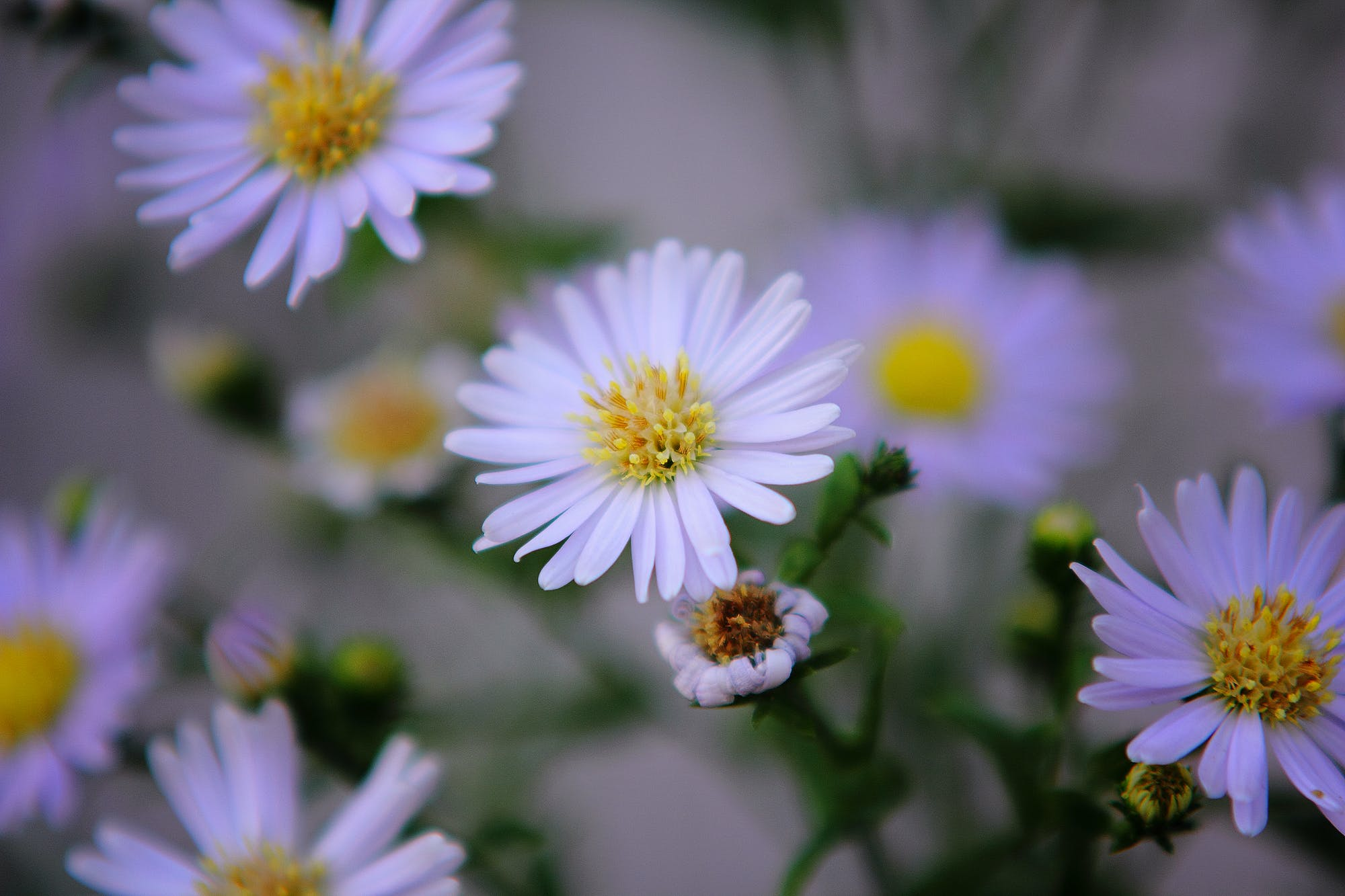 Daisy Flowers Shallow Focus Photography