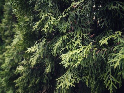 Безкоштовне стокове фото на тему «відділення, вічнозелений, дерево, зелений»