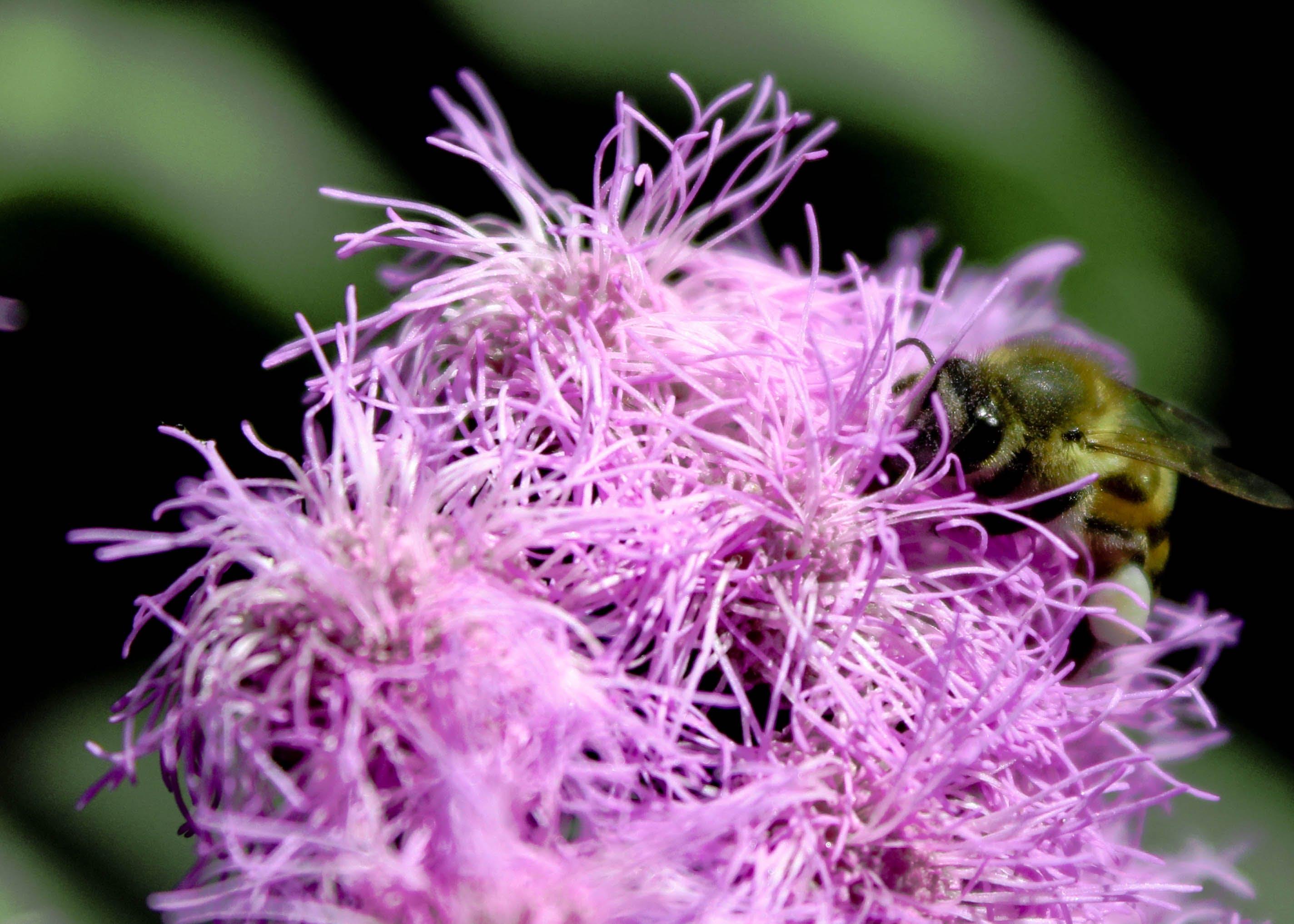 Kostenloses Stock Foto zu biene, botanischer garten, flügel, honigbiene