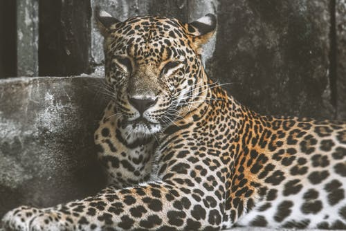 Leopard Lying On Ground