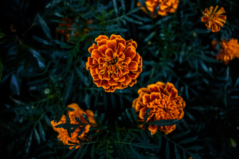 Foto d'estoc gratuïta de a l'aire lliure, flor taronja, flors boniques, natura