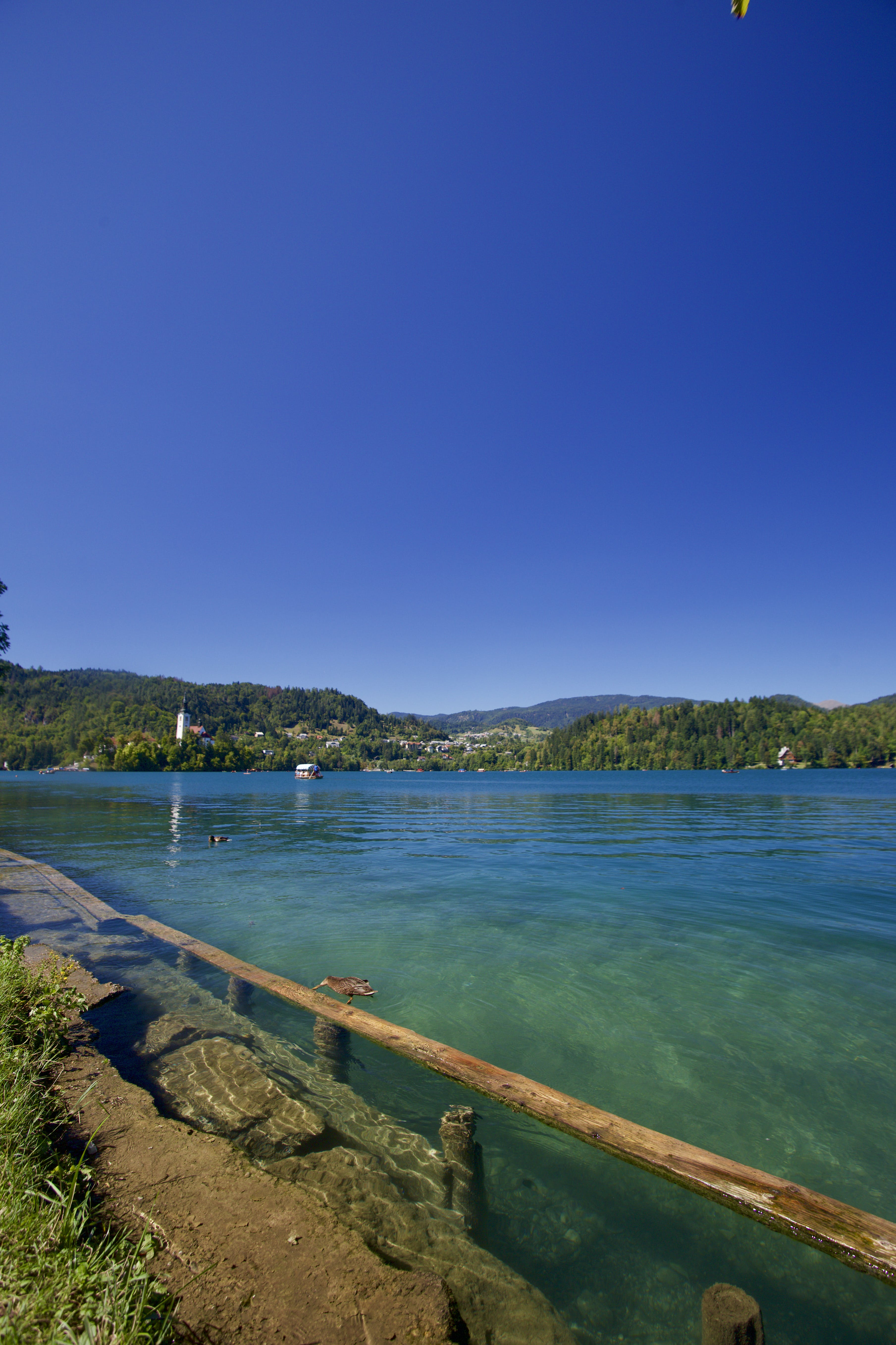 Free stock photo of bled, duck, green, lake