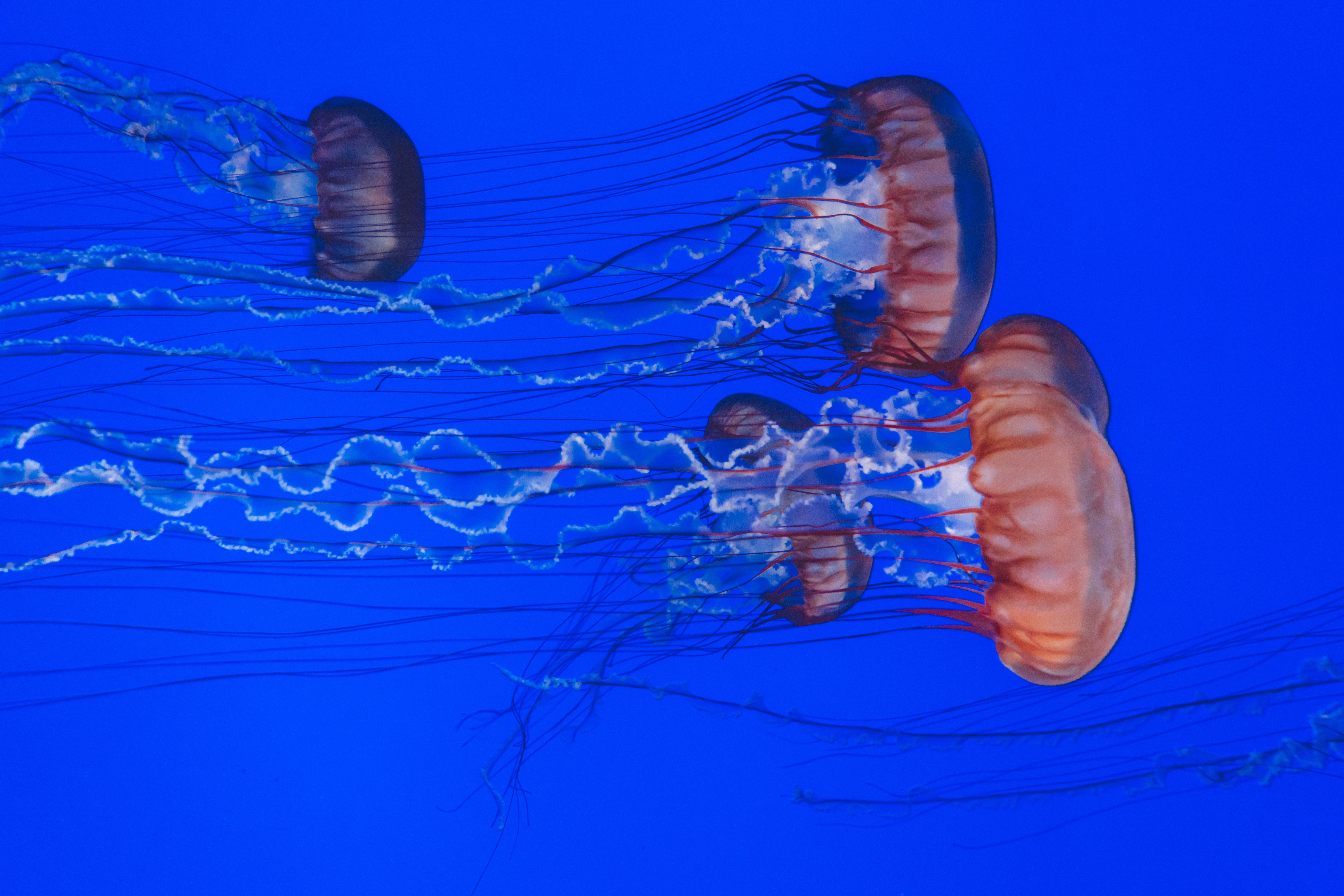 Four Brown and Gray Jellyfishes