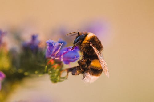 Selective Focus Photo of Honey Bee Perched on Purple Petaled Flowers