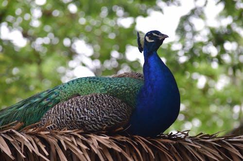 ağaçlar, hayvan, tavus kuşu içeren Ücretsiz stok fotoğraf