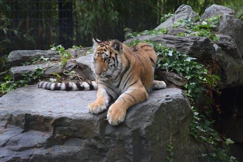 hayvan, Kaya, kedi içeren Ücretsiz stok fotoğraf
