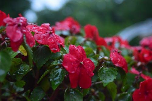Çiçekler, doğa, ıslak, kırmızı içeren Ücretsiz stok fotoğraf