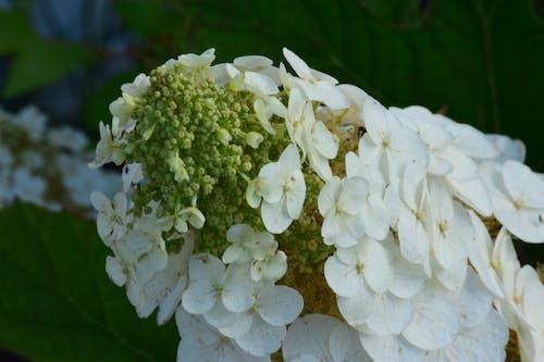 beyaz, çiçek, çiçek yaprakları, doğa içeren Ücretsiz stok fotoğraf