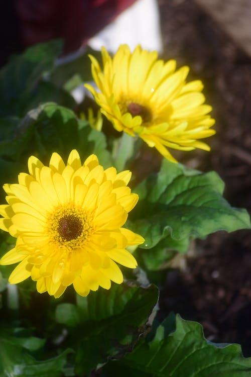 çiçek, doğa, makro, papatya içeren Ücretsiz stok fotoğraf