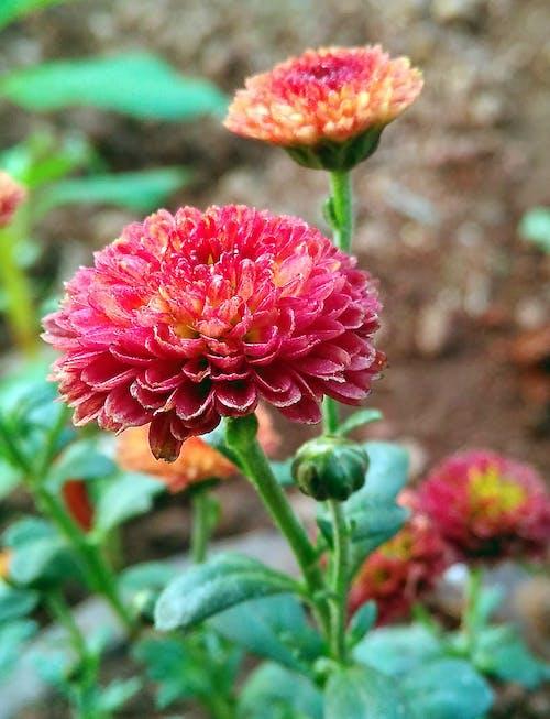 Kostnadsfri bild av röd blomma