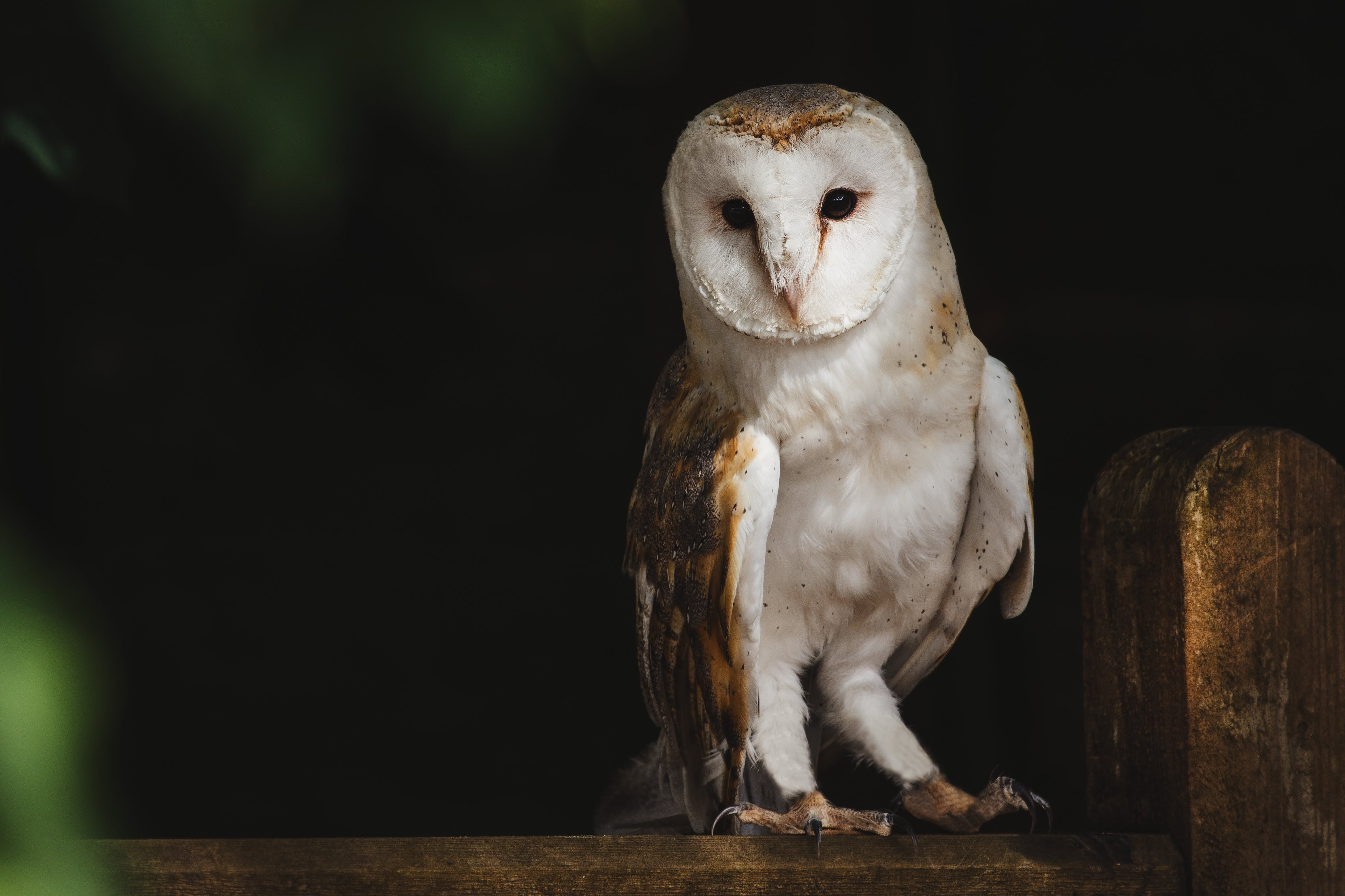 Barn Owl Perched on Tree