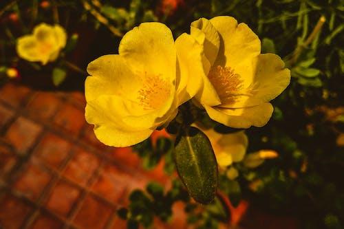 คลังภาพถ่ายฟรี ของ การถ่ายภาพมาโคร, ดอกสีเหลือง, ดอกไม้สีเหลือง, พร่ามัว