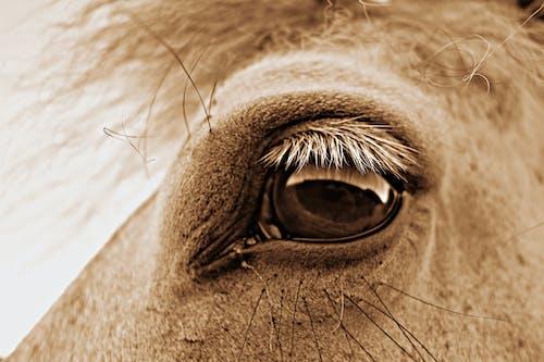 Free stock photo of equine, eye, horse head