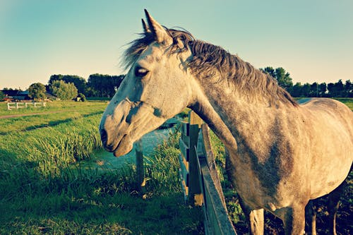 Gray Horse