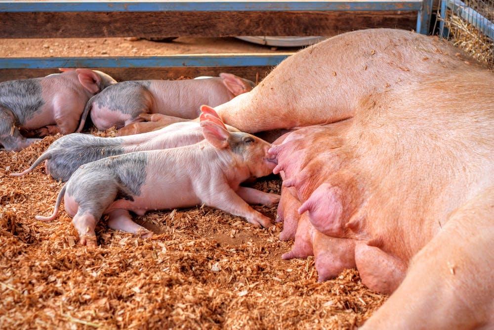 корма для свиней картинки приготовления, рецепты, польза