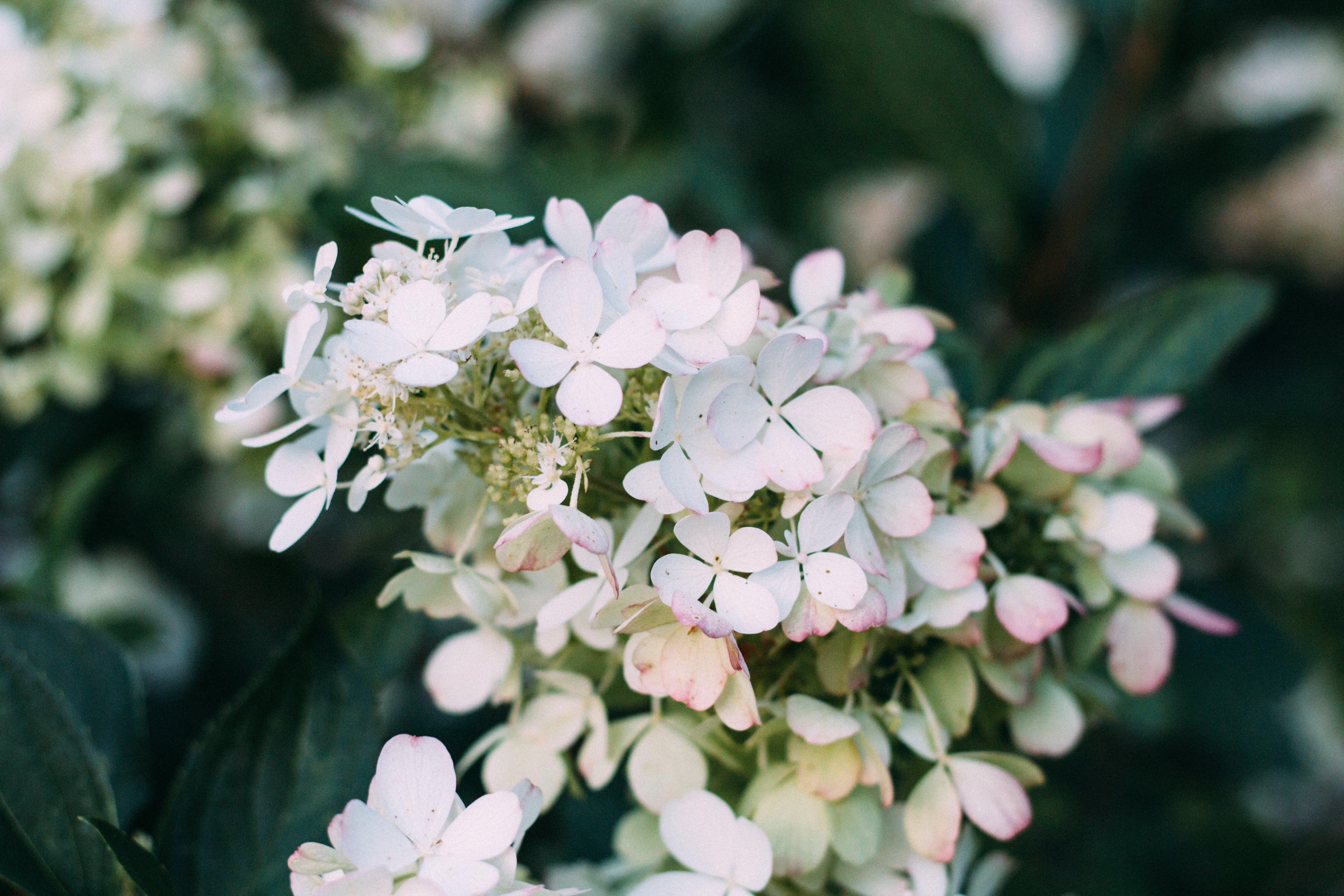 Closeup Photo of White Hydrangea Flowers