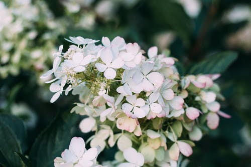 Closeup Photo of White Hydrangea Flowers
