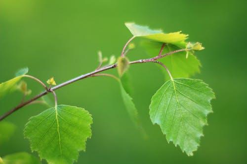 Foto profissional grátis de árvore, betula, borrado, daiganol