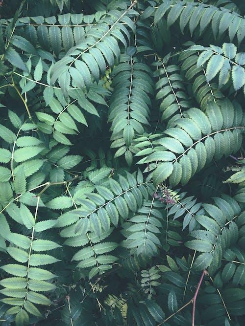Kostnadsfri bild av fernblad, grön, iPhone-bakgrund, ormbunke