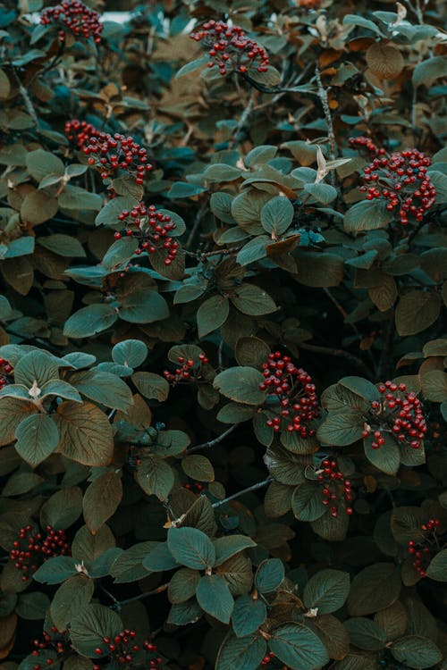 Green Leafed Plant With Red Fruits