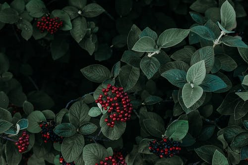 Green Leafed Plant With Red Fruit
