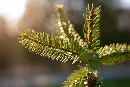 Shallow Focus Photography of Pine Tree Leaves