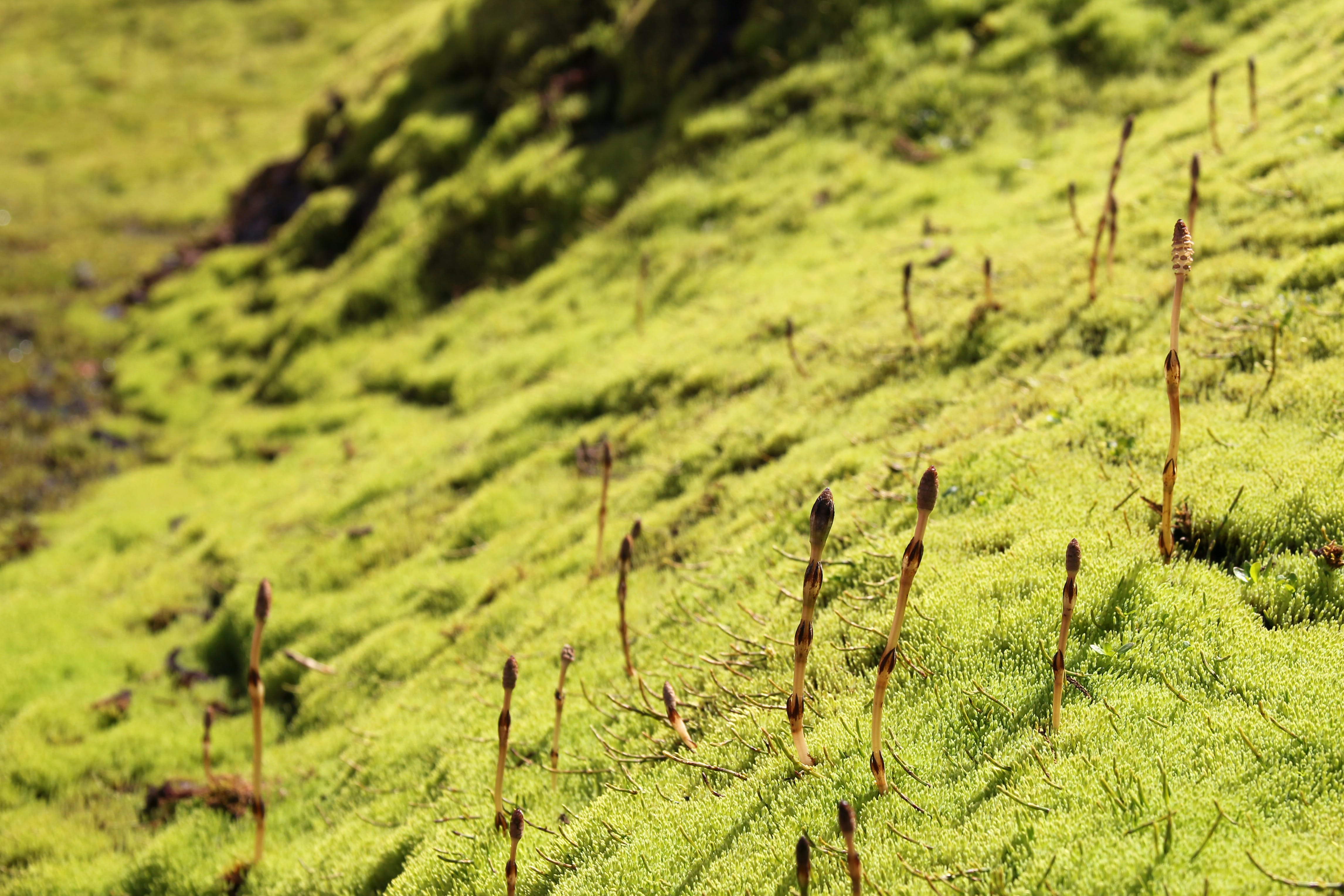 Free stock photo of green, iceland, moss, plants