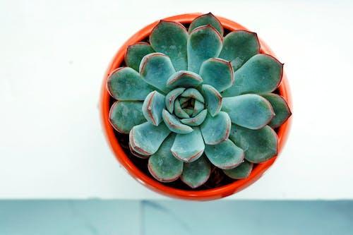 Free stock photo of cactus plant, decorative plant