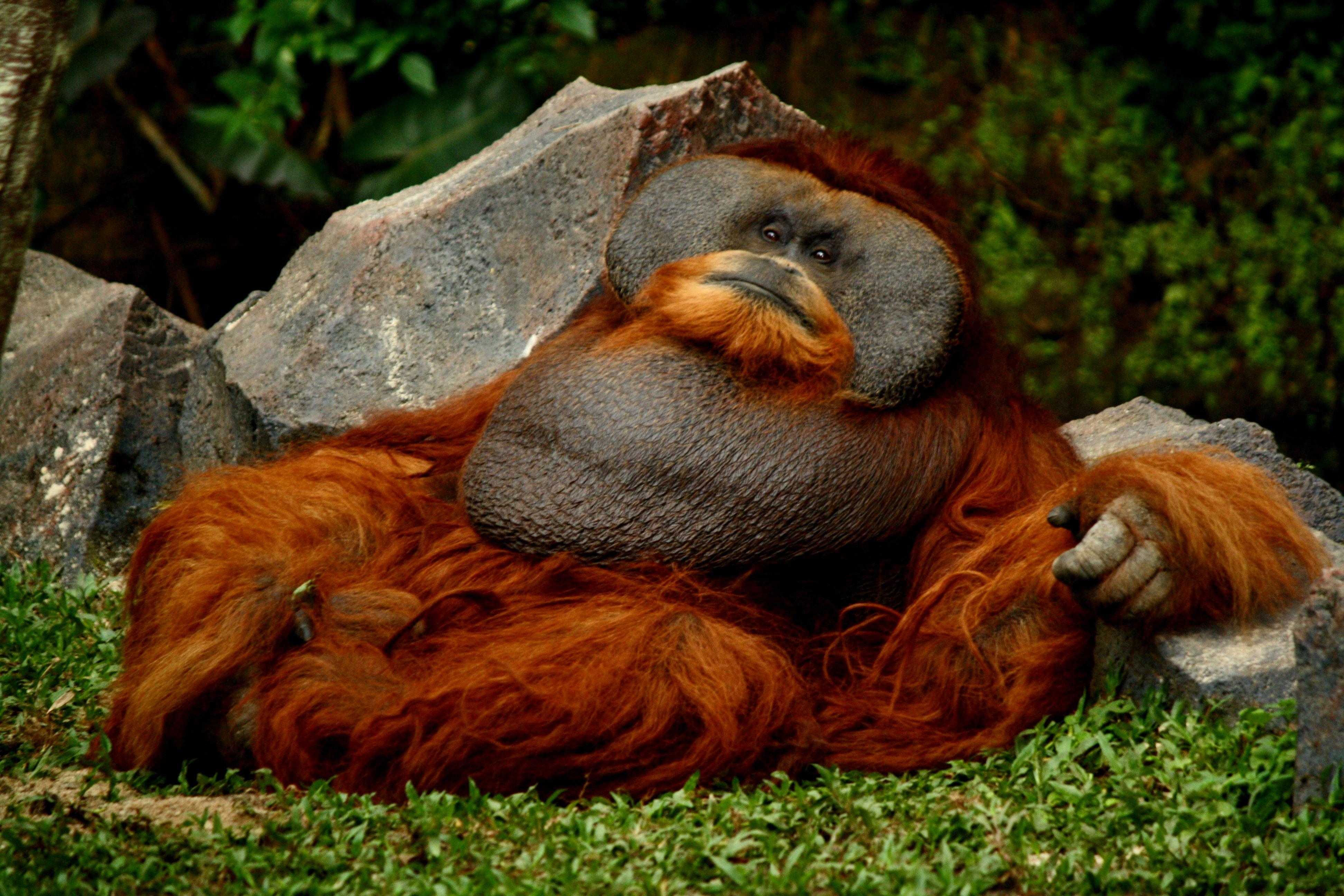 Free Stock Photo Of Animal Great Ape Family Orangutan