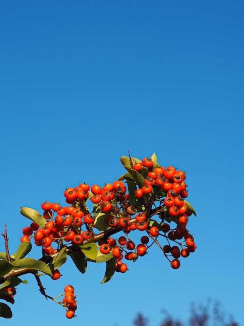 Ilmainen kuvapankkikuva tunnisteilla hedelmät, kukka, pensas, punainen