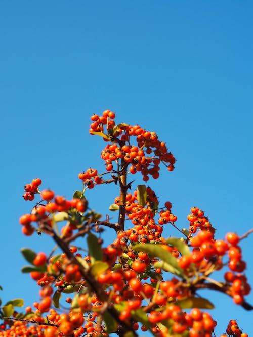Ilmainen kuvapankkikuva tunnisteilla pensas, punaiset hedelmät