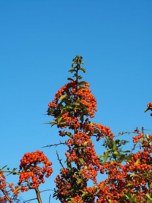 Ilmainen kuvapankkikuva tunnisteilla pensas, piikit, punaiset hedelmät