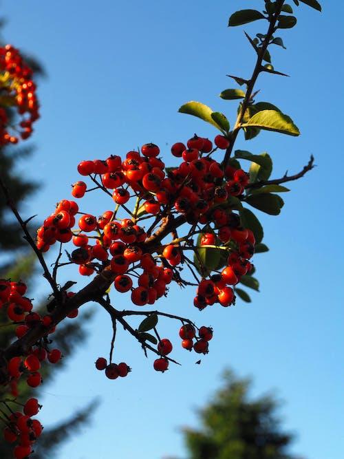 Ilmainen kuvapankkikuva tunnisteilla hedelmät, pensas, punaiset hedelmät, sininen taivas