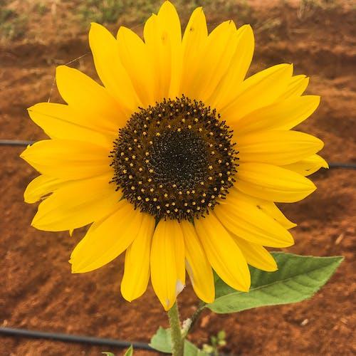 Imagine de stoc gratuită din floarea-soarelui, galben, luminos, soare